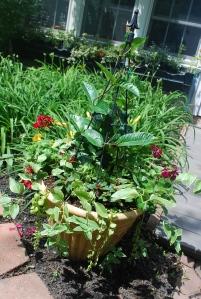 flowers 2015 mandavilla pot