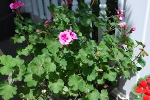 flowers 2015 pink geranium