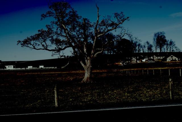 Mule tree