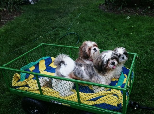 pups in wagon